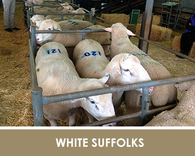 white-suffolk-semen